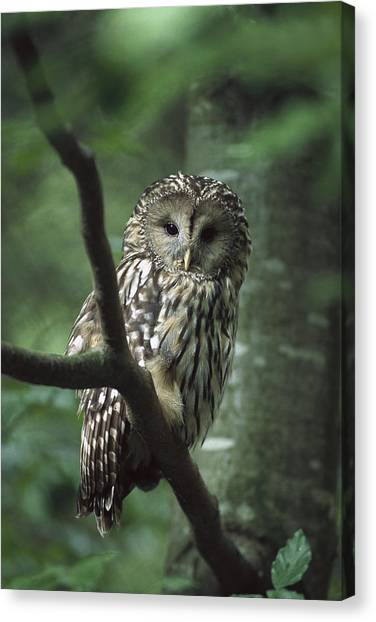 Ural Mountains Canvas Print - Ural Owl Strix Uralensis, Ural by Konrad Wothe