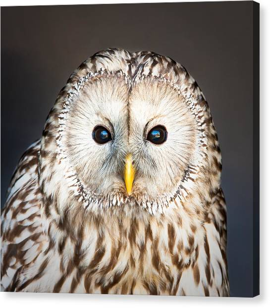 Owls Canvas Print - Ural Owl by Tom Gowanlock