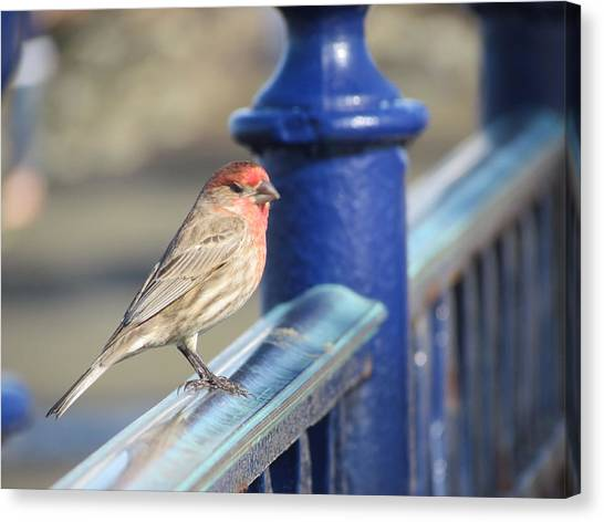 Urban Sparrow Canvas Print