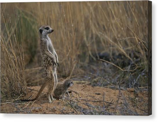 Republic Of South Africa Canvas Print - Using Its Tail, An Adult Meerkat by Mattias Klum