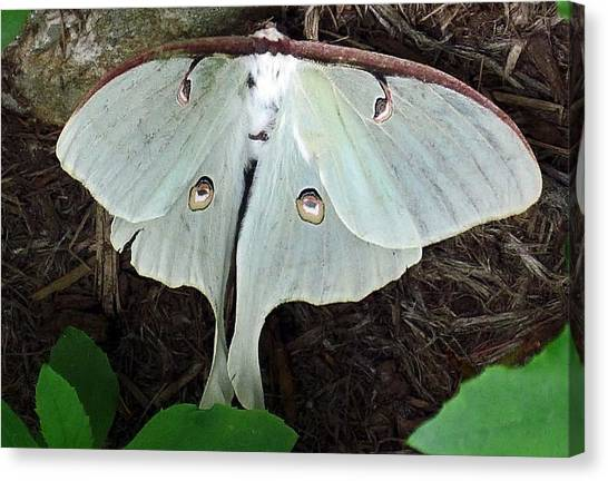 Va Moth Canvas Print