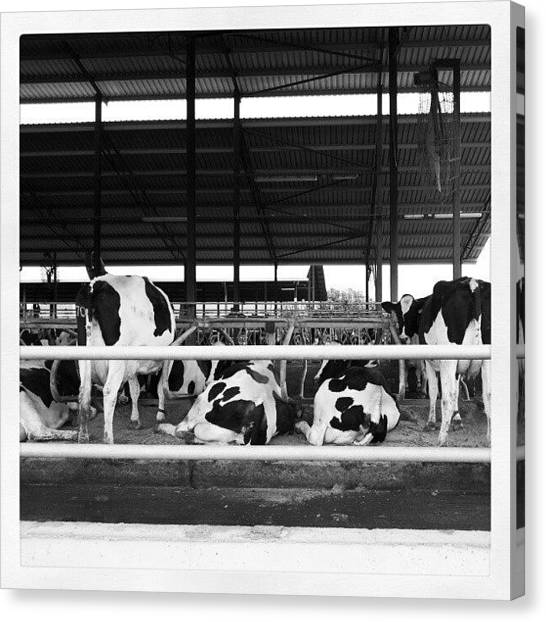 Milk Canvas Print - Vacas - Cow by Jorge Vargas