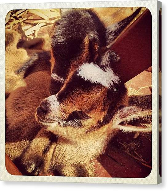 Goats Canvas Print - Val's New Baby Goat Twins! #animal by Shannon Ferguson