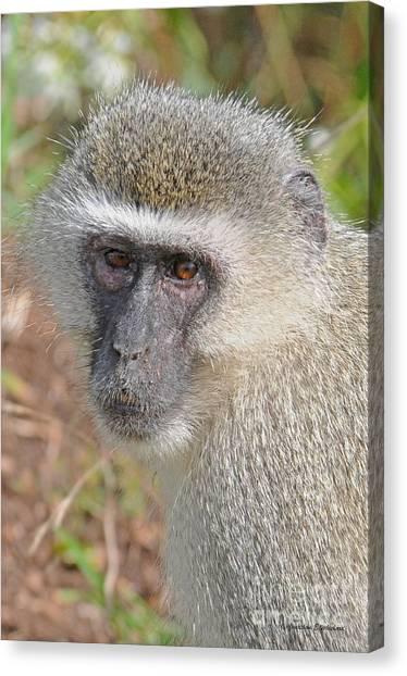 Vervet Monkey Canvas Print by Jonathan Whichard