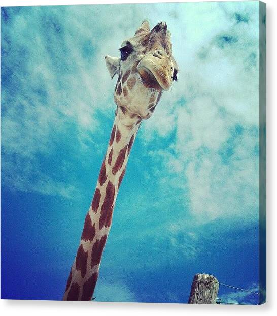 Giraffes Canvas Print - View From My Sunroof! #giraffe by Kelsi Doerrer