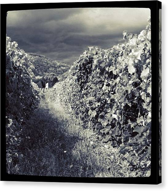 Grapes Canvas Print - Vineyard View Bw by Justin Connor