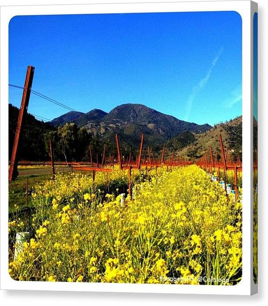 Vineyard Canvas Print - Vineyard View With Mustard by Peter Stetson