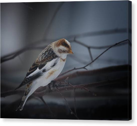 Buntings Canvas Print - Visiter From The North Country by Susan Capuano