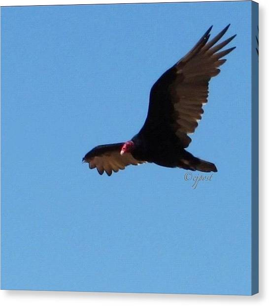 Vultures Canvas Print - Vulture Flying Over My Backyard This by Cynthia Post