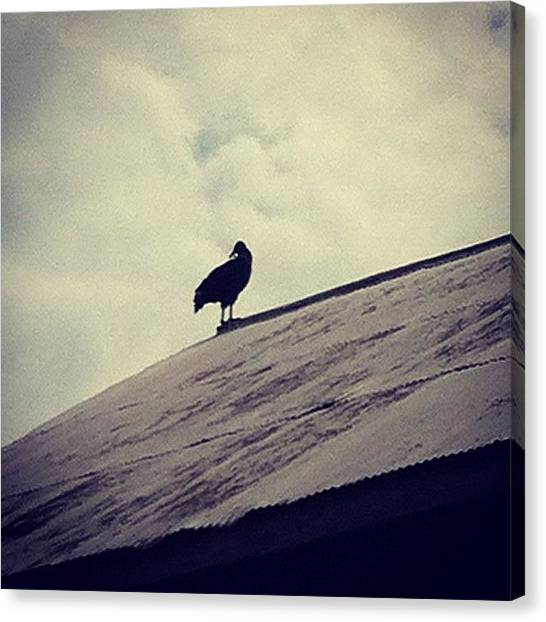 Maryland Canvas Print - Vulture by Rachael Sansing