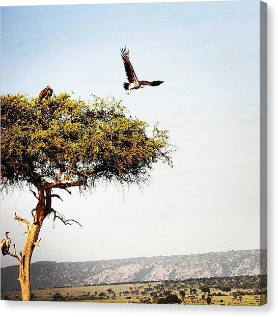 Kenyan Canvas Print - #vulture #tree #nature #wildlife #kenya by Owain Evans