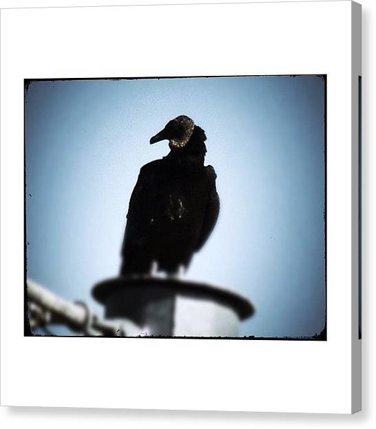 Vultures Canvas Print - #vulture #vultureporn #blackbulture by Robb Needham