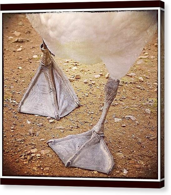 Swans Canvas Print - Waddling Along #swansfeet #webbedfeet by Polly Rhodes