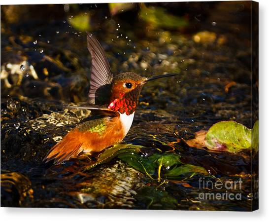 Selasphorus Canvas Print - Wading In The Water by Carl Jackson