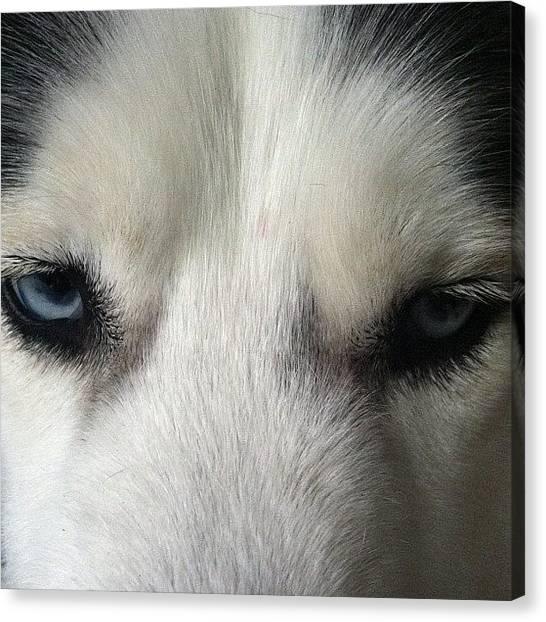 Huskies Canvas Print - Walker's Eyes ... Siberian Husky by Vicki Damato