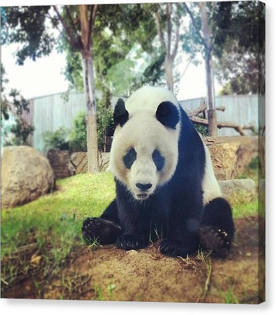 Panda Canvas Print - Wang Wang #adelaide #panda #zoo by Rhys Moult