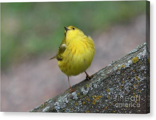 Canvas Print - Warbler With Attitude by Lori Tordsen