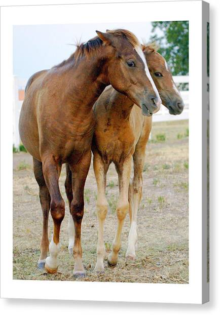 Wary Young Horses Canvas Print