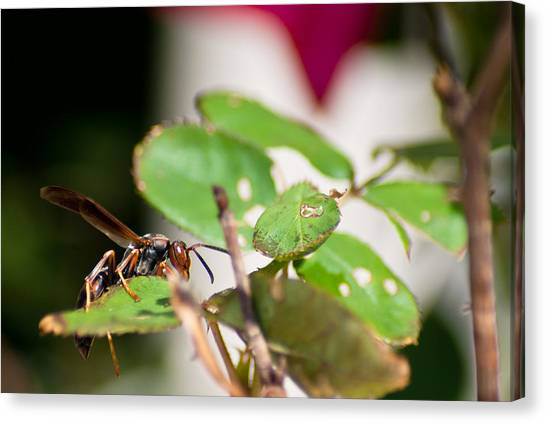 Wasp On Roses Canvas Print by Jason Heckman