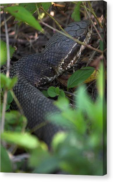 Cottonmouths Canvas Print - Watch Your Step by Kathy Gibbons