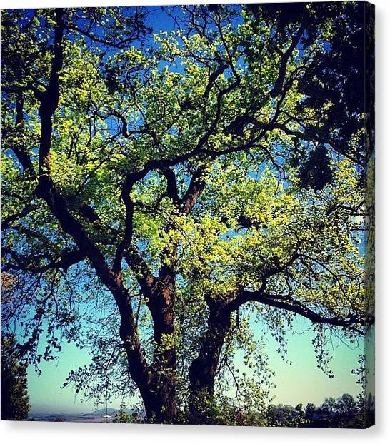 South African Canvas Print - Watchful Oak by David Lamberti