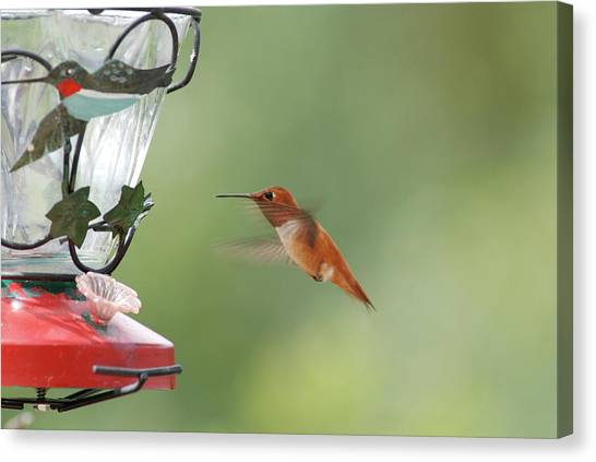 Watchful Rufous Canvas Print