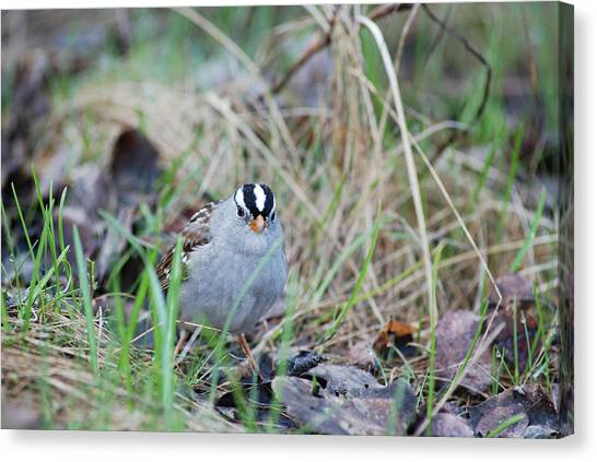 Watchful White Crowned Sparrow Canvas Print