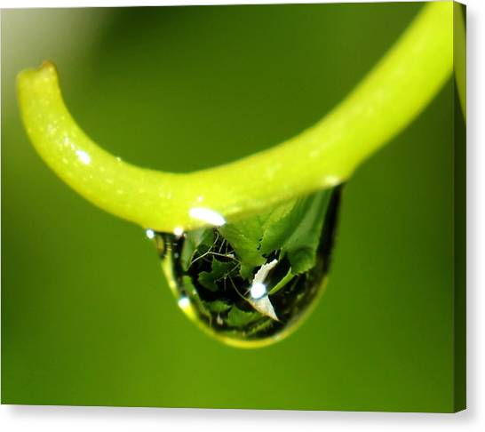 Water Droplet On Grapevine Canvas Print