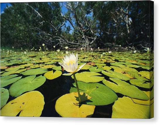 Cape Lily Canvas Print - Water Lilies, Jardine River, Cape York by Joe Stancampiano