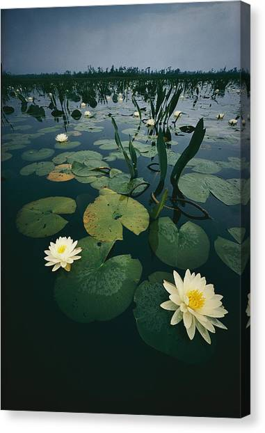 Okefenokee Canvas Print - Water Lillies In The Okefenokee Swamp by Farrell Grehan