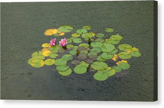 Water Lilly In Rain -1 Canvas Print by Muhammad Hammad Khan