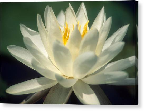 Water Lilly Canvas Print by Lee Amerson