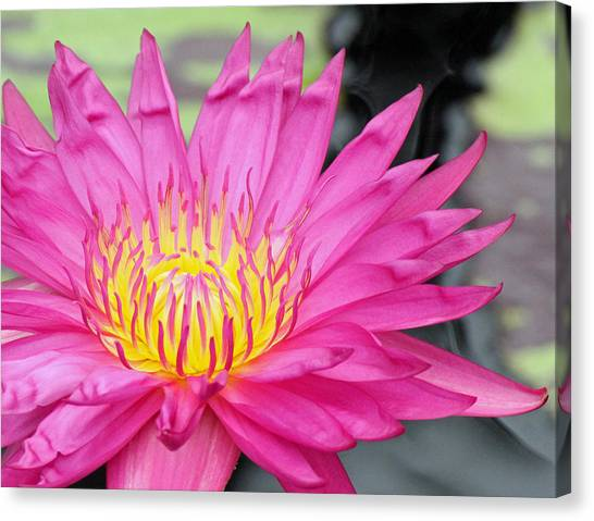 Water Lily In Pink Canvas Print by Becky Lodes