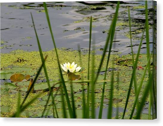 Water Lily On The River Canvas Print