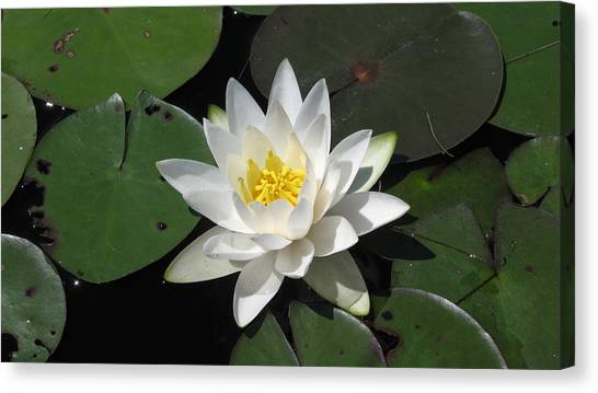 Water Lily Canvas Print by Waldemar Okon