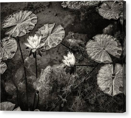 Waterlilies In Sepia Canvas Print