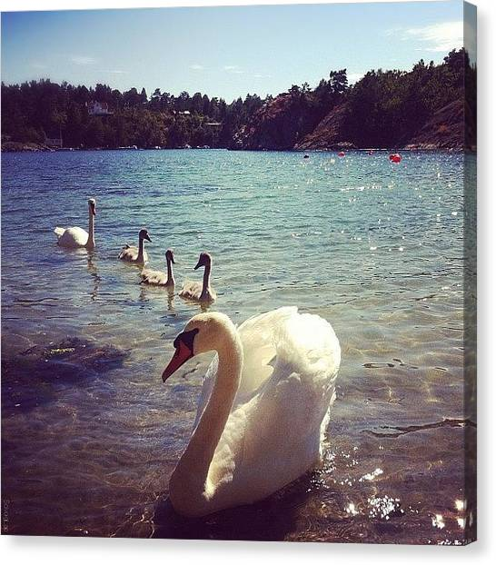 Swans Canvas Print - We Had Some Beautiful Guests At The by Solveig Lae