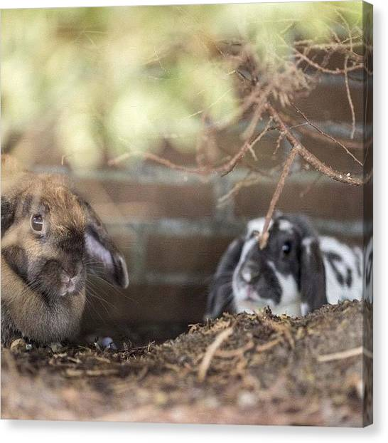 Rabbits Canvas Print - We Have A Shallow #rabbit #hole Here by Andy Kleinmoedig