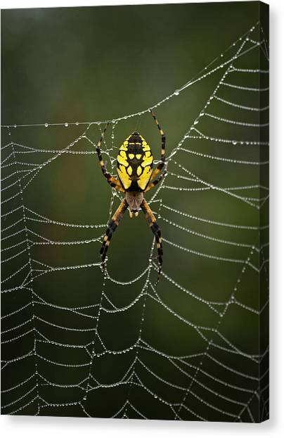 Spider Web Canvas Print - Weave Master by Susan Capuano