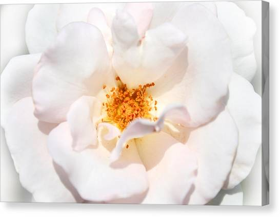 Wedding White Rose Canvas Print