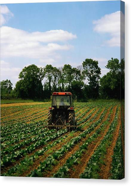 Backhoes Canvas Print - Weeding A Cabbage Field, Ireland by The Irish Image Collection
