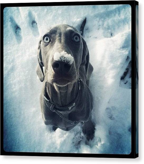 Weimaraners Canvas Print - #weimaraner #weim #grey #puppy #dog by Sam Marriott