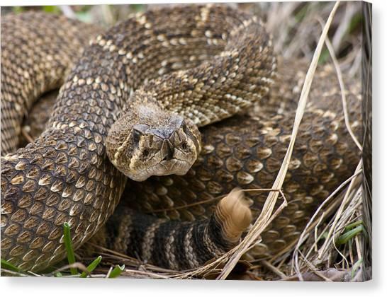 Western Diamondback Rattlesnake - 4665 Canvas Print