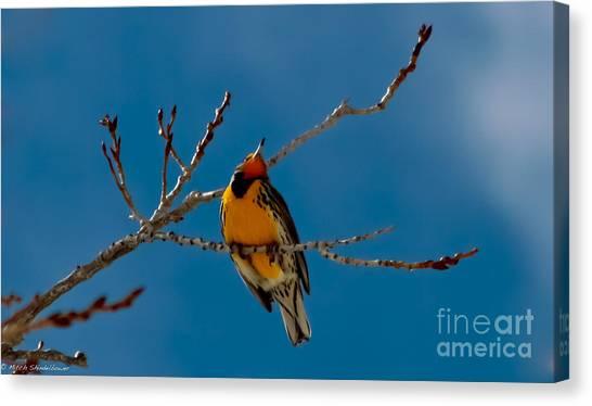 Meadowlarks Canvas Print - Western Meadowlark by Mitch Shindelbower