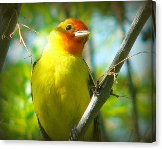 Western Tanager Canvas Print by Carol Norman