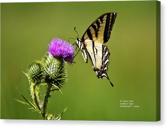 Western Tiger Swallowtail - Milkweed Thistle 2564 Canvas Print