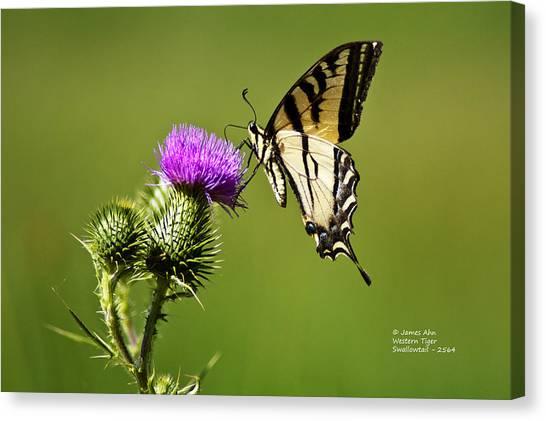 Western Tiger Swallowtail - Milkweed Thistle 2564 Canvas Print