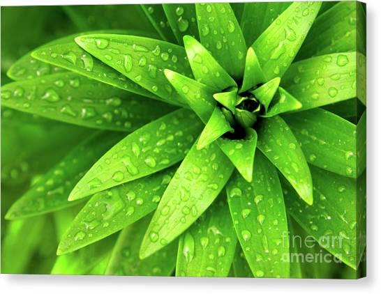 Green Canvas Print - Wet Foliage by Carlos Caetano