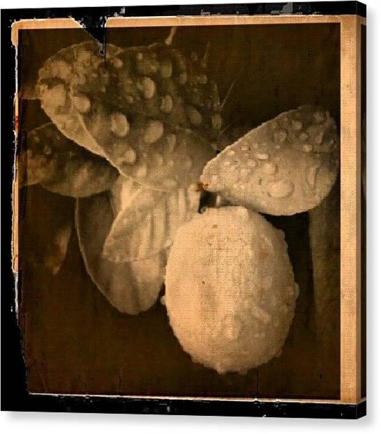 Lemons Canvas Print - Wet Lemon by Christi Evans
