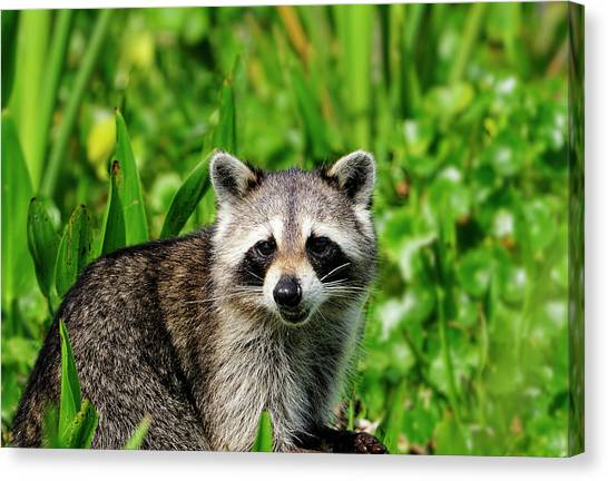 Wetlands Racoon Bandit Canvas Print